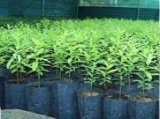 चंदन से कमाई : किसान तैयार कर रहा पेड़, कमाएगा करोड़ों रु