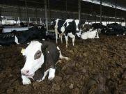 गाय के गोबर से शुरू की लाखों रु की कमाई