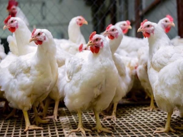 कमाल : मुर्गों से चलाए जाएंगे वाहन, जानिए नई तकनीक
