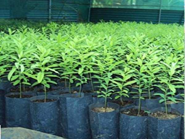 चंदन से कमाई : किसान पौधे से तैयार कर रहा पेड़, 6 साल में कमाएगा 3 करोड़ रु