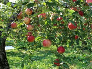 Government Will Directly Buy Apples From Jammu Kashmir Farmers