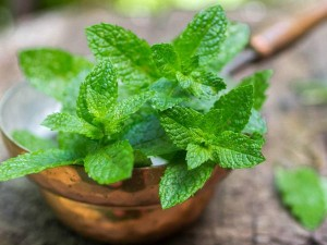 Mentha Can Make You Rich Sells One Liter Of Oil For More Than Rs