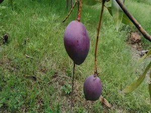 Price Of Miyazaki Mango Will Surprise You Price Of 1 Kg Is Rs 2 Point 70 Lakh